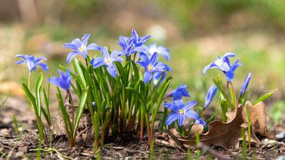 Sternhyazinthen auf der Wiese zum Frühlingsanfang 2020