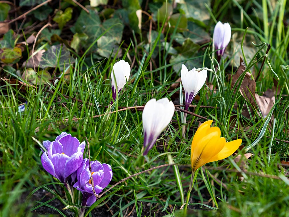 Krokusse auf der Wiese zum Frühlingsanfang 2020