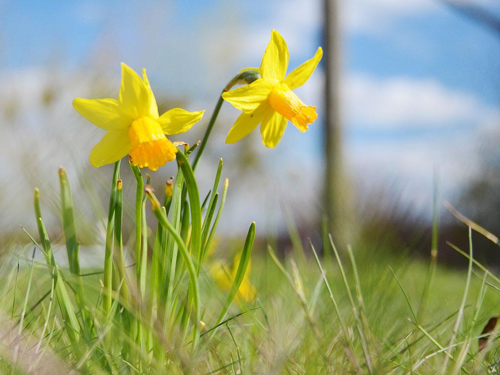 Zwei gelbe Narzissen auf der Frühlingswiese