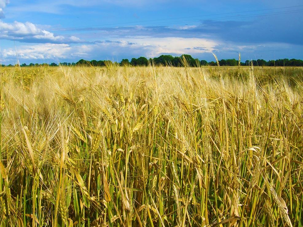 Sommeranfang mit Getreidefeld